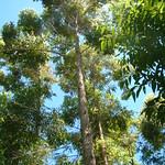 Eucalyptus microcorys plantation