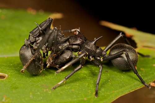 Cephalotes Ant mimicking spider with prey (Aphantochilus rogersi)