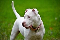 gull terr(0.0), bulldog(0.0), dog breed(1.0), animal(1.0), dog(1.0), dogo argentino(1.0), pet(1.0), bull terrier (miniature)(1.0), american pit bull terrier(1.0), american bulldog(1.0), carnivoran(1.0), terrier(1.0),