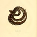 011-Crotalus miliarus-North American herpetology…1842-Joh Edwards Holbrook