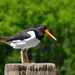 Vivid orange color of the Oystercatcher