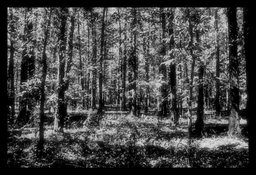 trees forest blackwhite woods alabama wetumpka forttoulouse
