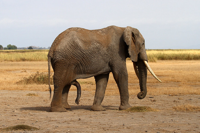 Elephant with two trunks quot hung like a donkey quot flickr