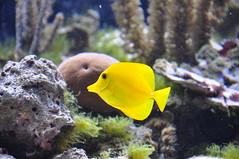anemone fish(0.0), macro photography(0.0), coral reef(1.0), fish(1.0), yellow(1.0), coral reef fish(1.0), marine biology(1.0), fauna(1.0), freshwater aquarium(1.0), underwater(1.0), reef(1.0), aquarium(1.0), wildlife(1.0),