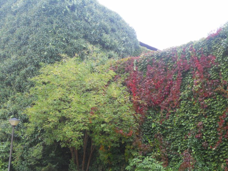 La enredadera en otoño