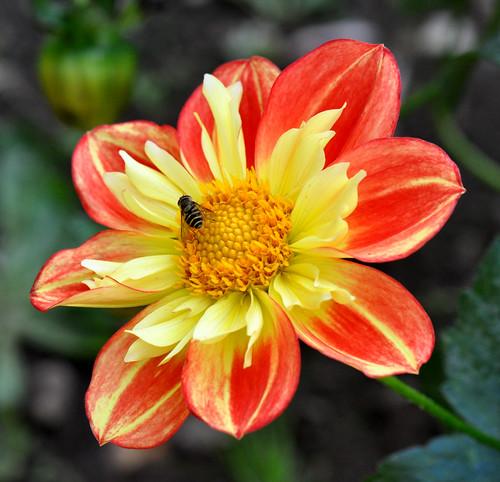 dahlia hoverfly horner abbotsford redandyellow bugonflower mixedflowers nikond90 flowersarebeautiful excellentsflowers natureselegantshots exquisiteflowers mimamamorflowers 100commentgroup greatshotss macroselsalvador mygearandmepremium mygearandmebronze nikkor85mmmicrolens flickerflrescloseupmacros wheelsdahlia