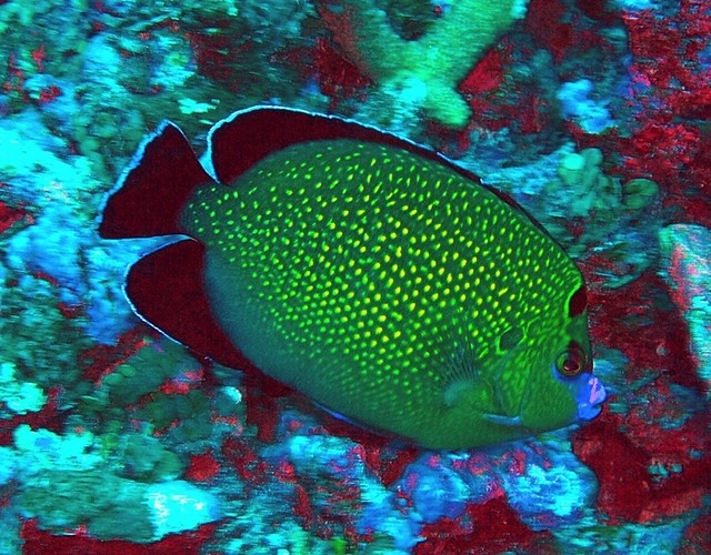 Golden-spotted angelfish at Baker island NWR Flickr - Photo Sharing!
