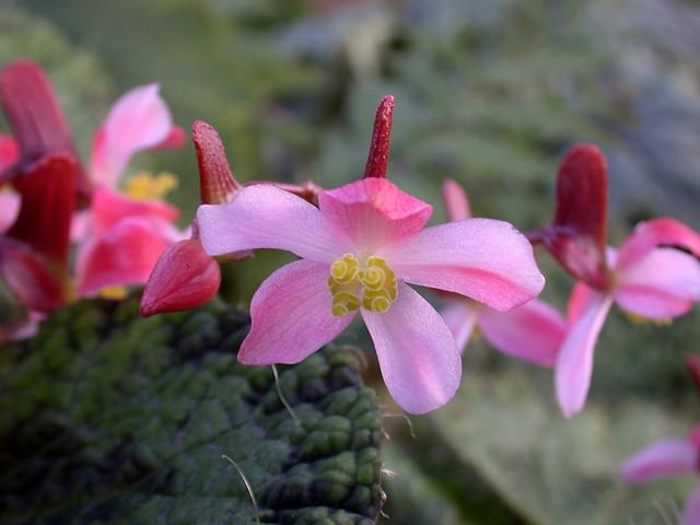 Begonia sizemoreae flower closeup