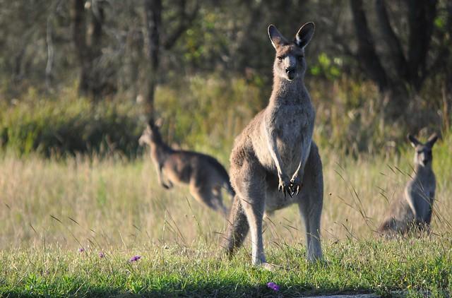 Curious Kangaroos