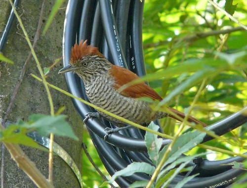 Imagen de una de las aves del Quindio: Batara Carcajada (Thamnophilus Multistriatus)