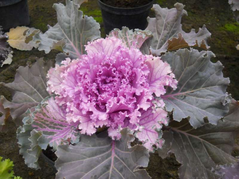 Brassica oleracea 2