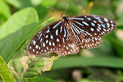Butterflies - Cameron Highlands, Malaysia
