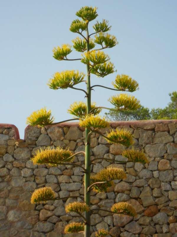 Agave americana flor v 4