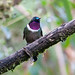 Small photo of Amethyst-throated Sunangel, Tapichalaca