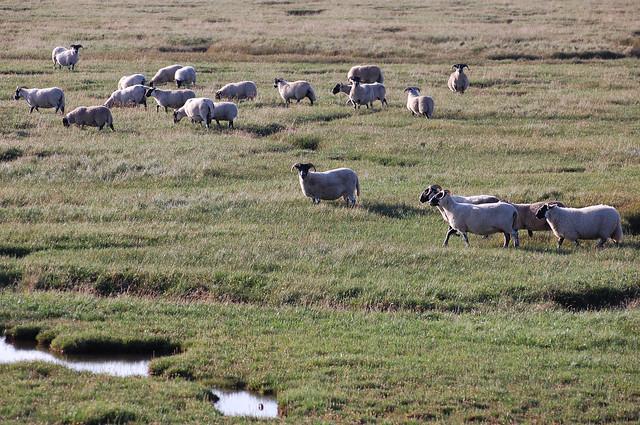 Sheep On Salt Marsh