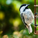 very young Chickadee in bokeh