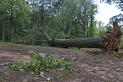 Fallen Tree In Byrd Park