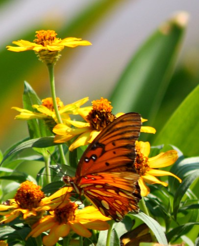 flowers summer nature butterfly landscape texas houston creation blooms gulffritillary inspiredbyhim naturallymagnificent