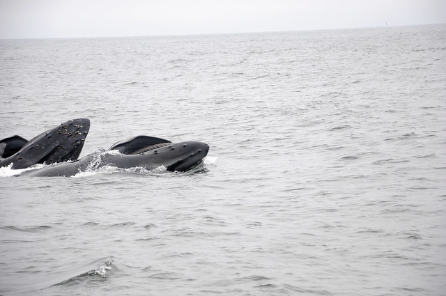 Two Humpback Whales Lunge-feeding