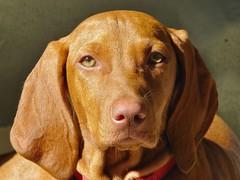 puppy(0.0), wirehaired vizsla(0.0), dog breed(1.0), animal(1.0), dog(1.0), redbone coonhound(1.0), pet(1.0), mammal(1.0), english coonhound(1.0), coonhound(1.0), vizsla(1.0),