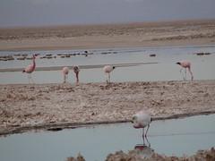 sea(0.0), mudflat(0.0), bird migration(0.0), animal migration(1.0), wetland(1.0), animal(1.0), sand(1.0), fauna(1.0), natural environment(1.0), shore(1.0), flock(1.0), flamingo(1.0), bird(1.0),