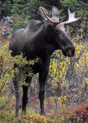 bull_moose_1