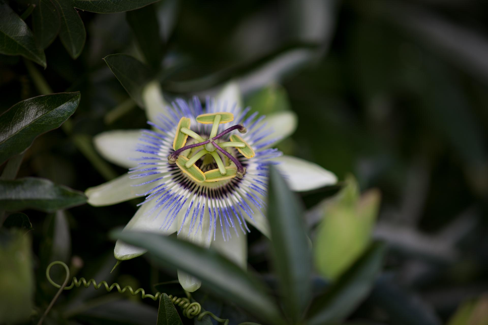 Passion Fruit Flower IMG 3183