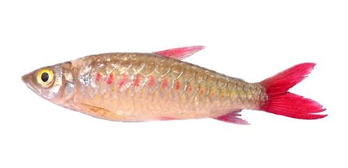 Characiformes: Characidae