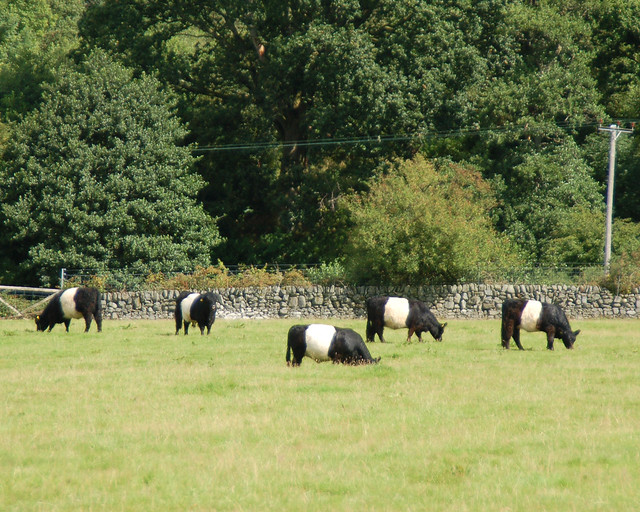 Belted Galloway Cattle http://www.flickr.com/photos/monceau/4980860250/