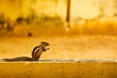 Squirrel - 3