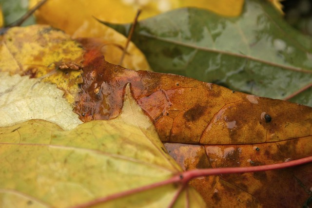 Yellow, Orange, and Green Fall Leaves
