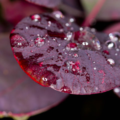 Raindrops on red leaf