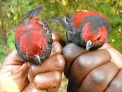 Pair of Dusky Crimsonwings