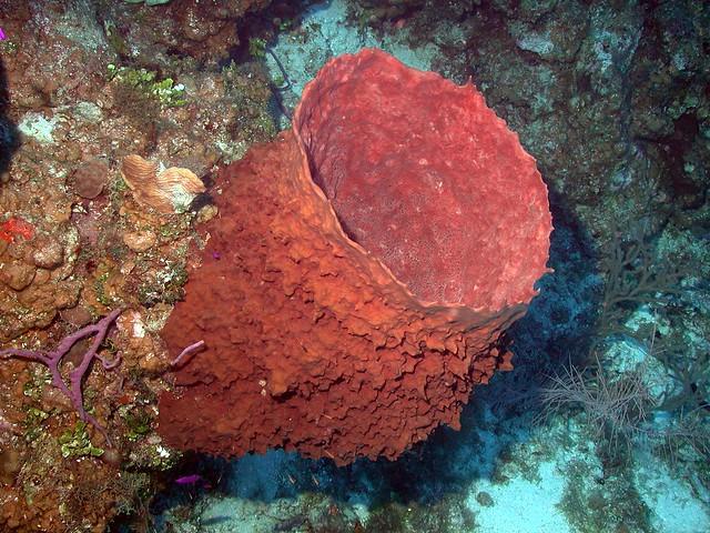 Esponja barril gigante (Xestospongia Muta)