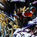 Clownfish - Coral Reef Room