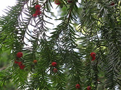 "Taxaceae Taxus baccata ""Common Yew"""