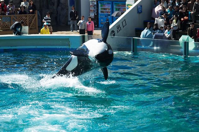 killer whale #15