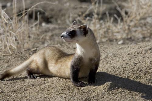 Endangered black-footed ferret (Mustela nigripes)