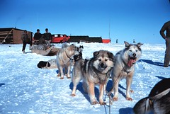 pet(0.0), street dog(0.0), greenland dog(0.0), dog(1.0), winter(1.0), vehicle(1.0), mammal(1.0), mushing(1.0), dog sled(1.0), sled dog racing(1.0), alaskan malamute(1.0), sled dog(1.0),