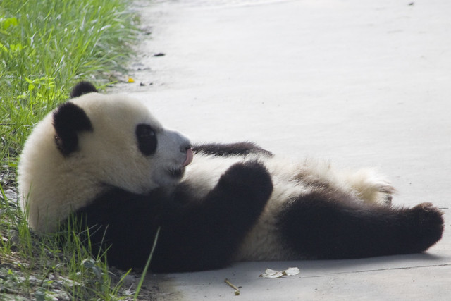 Giant Panda - Lazy Panda | Flickr - Photo Sharing!
