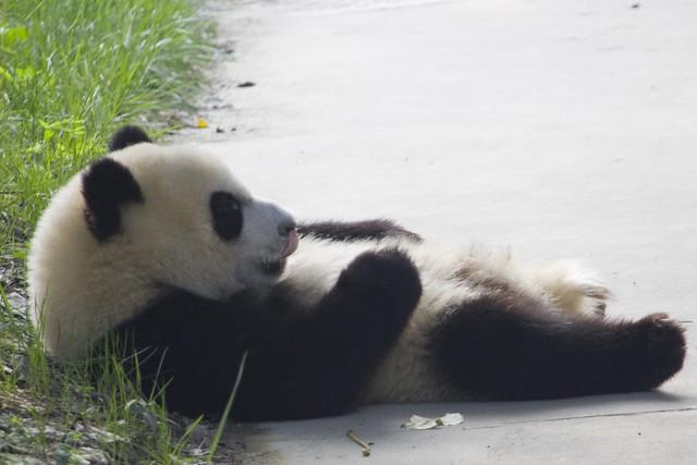 Giant Panda - Lazy Panda | Flickr - Photo Sharing!