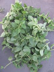 Az oregano termése / értékes része
