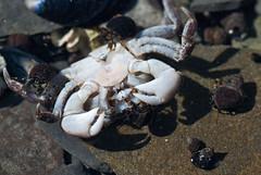 crab, animal, ocypodidae, crustacean, seafood, marine biology, invertebrate, fauna, close-up, wildlife,