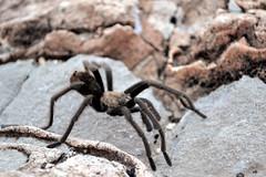 soil(0.0), arthropod(1.0), animal(1.0), spider(1.0), invertebrate(1.0), macro photography(1.0), fauna(1.0), close-up(1.0), tarantula(1.0), wolf spider(1.0), wildlife(1.0),