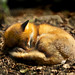 Young sleeping fox