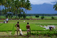Rice plantation in Kerala (India)