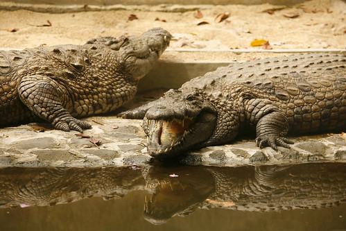 Crocodiles at La Vanile Crocodile Park in Mauritius. Photo via http://www.flickr.com/photos/97938415@N00/ CC by NC-SA