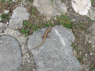 Lizard at Bled castle
