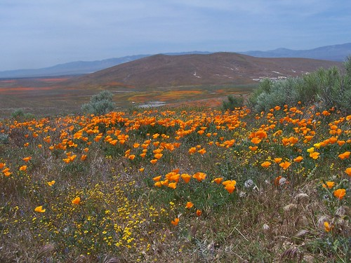Antelope Valley Poppy Reserve.  Photo © Flickr User: Sacredearth.
