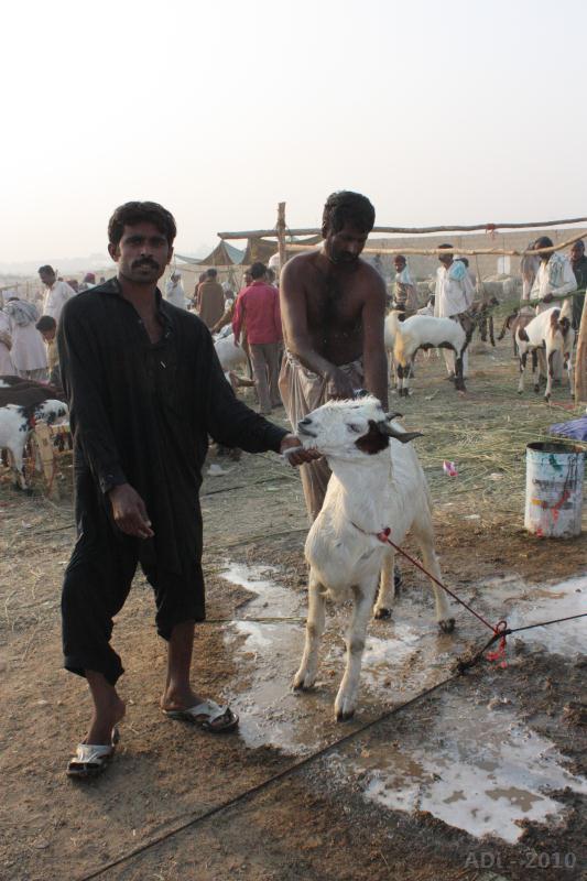 Goat Wash 2010